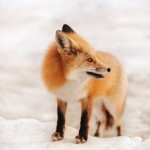 Red fox standing in snow