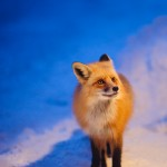 Red fox standing in snow at night