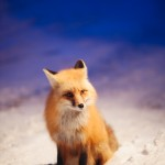 Angela_Lumsden_the_fox-4