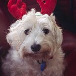 Small white dog wearing reindeer antlers while sitting in the ba